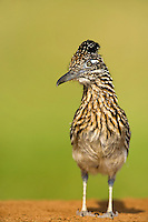 576010054 a wild  greater roadrunner geococcyx califonianus at laguna seca ranch in hidalgo county texas united states