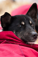 Sled dog resting under a blanket at the Sawbill Checkpoint during the 2011 John Beargrease Sled Dog Marathon