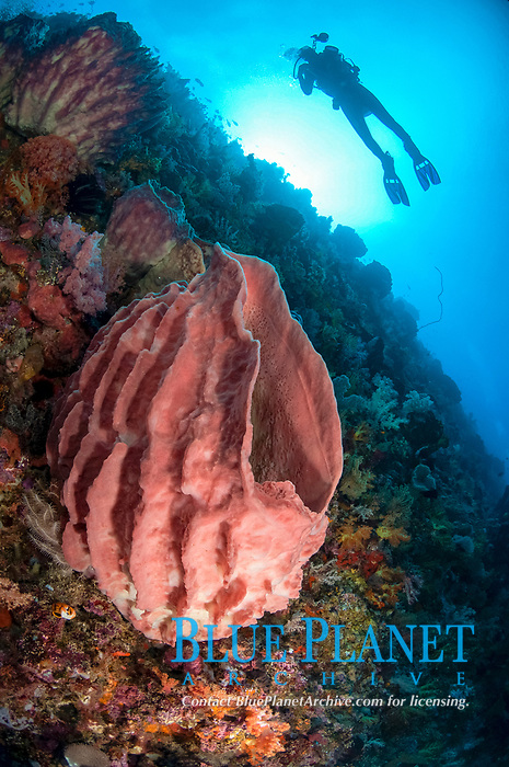 Barrel Sponge, Xestospongia testudinaria, with model released diver, and sun in background, Tanjung Nukae dive site, Wetar Island, near Alor, Indonesia, Banda Sea, Pacific Ocean