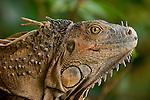 Green Iguana (Iguana iguana), Costa Rica.