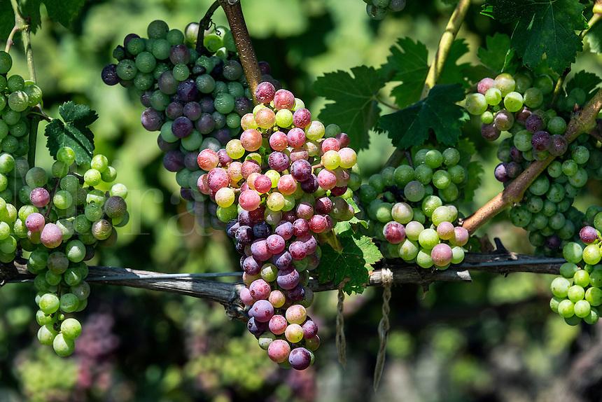 Vineyard grapes on the vine, Cape Cod, Massachusetts, USA
