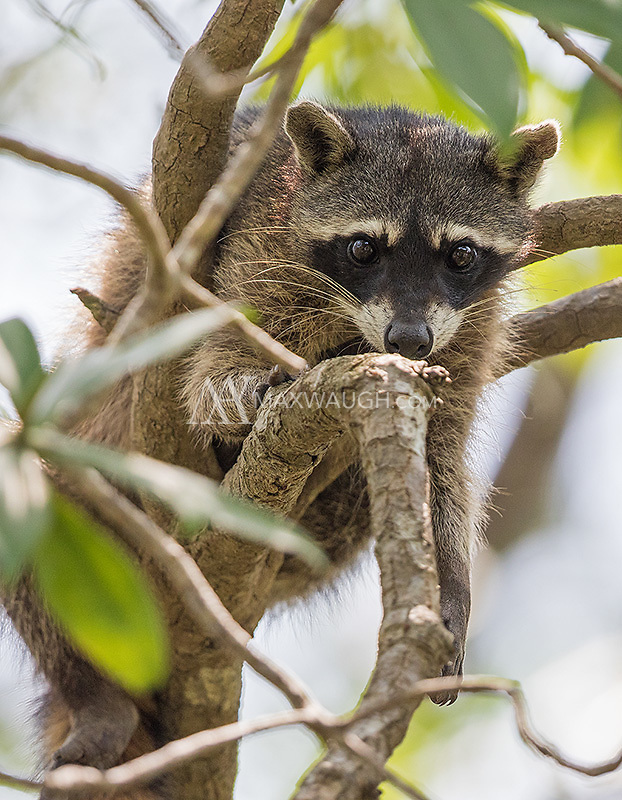 This was my first photo opportunity with what I believe is a crab-eating raccoon (ID based on the dark paws).<br /> <br /> If an expert believes this is the common raccoon, I welcome feedback.