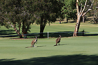Kangaroo's on the 1st during Round 2 Matchplay of the ISPS Handa World Super 6 Perth at Lake Karrinyup Country Club on the Sunday 11th February 2018.<br /> Picture:  Thos Caffrey / www.golffile.ie<br /> <br /> All photo usage must carry mandatory copyright credit (&copy; Golffile | Thos Caffrey)