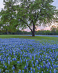 Blanco County, Texas Hill Country: Bluebonnets in a field with oak tree at sunset.