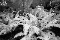 Infrared ferns and trees, Butchart Gardens, Canada.<br /> <br /> Nikon F3HP, 24mm lens, Kodak High Speed infrared film, red filter
