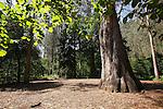 """Souto da Retorta en Chavin, Viveiro, Lugo. Donde Se Encuentra el arbol mas grande de España, """"O Avo"""" (El Abuelo) un Eucalipto plantado en 1880 que alcanza los 67 metros de altura, tiene 10,5 metros de perímetro en su base y un volumen de 75,2 metros cúbicos."""