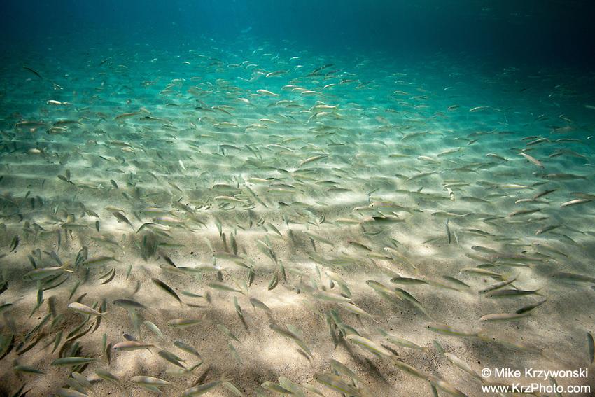 Large school of goatfish (oama) swimming along the sandy bottom of Waimea Bay, Oahu