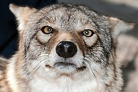 """Captive Eastern Coyote howling, Buttonwood Zoo, New Bedford, MA.  """"Molly"""" was an orpahned pup when her mother was killed in Texas shortly after she was born.  She was rescued and brought to the Buttonwood Zoo.  Molly shows the size, shape and markings of a traditional Western coyote who had not yet interbred with wolves, or domestic dogs.  Close-up looking at camera, ears folded back and threatening."""