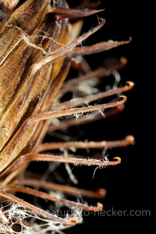 Früchte der Klette, Nahaufnahme der Widerhaken, Früchte der Klette haftet mit ihren Widerhaken im Fell von Tieren. Zoochorie, das ist die Ausbreitung von Samen oder Früchten verschiedener Pflanzen durch Tiere, Tierausbreitung, Epizoochorie, Filzige Klette, Arctium tomentosum, Hairy Burdock, Burdock, Bardane