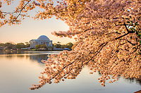 Jefferson Memorial Cherry Blossoms Tidal Basin Washington DC Cherry Blossoms Washington Monument Tidal Basin Washington DC Cherry Blossoms Tidal Basin Washington DC<br />