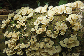 Amazon, Brazil. Pale yellow fungus growing on a fallen tree.