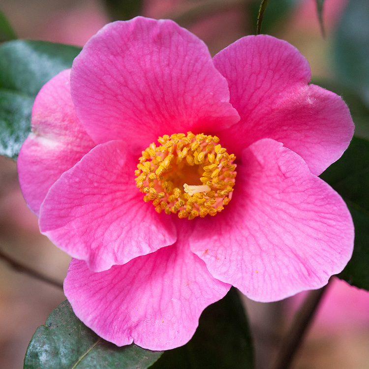 Camellia x williamsii 'Charles Michael' (japonica x saluenensis), mid March.