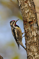 Yellow-bellied Sapsucker (Sphyrapicus varius), male at sap well, New Braunfels, Hill Country, Central Texas, USA