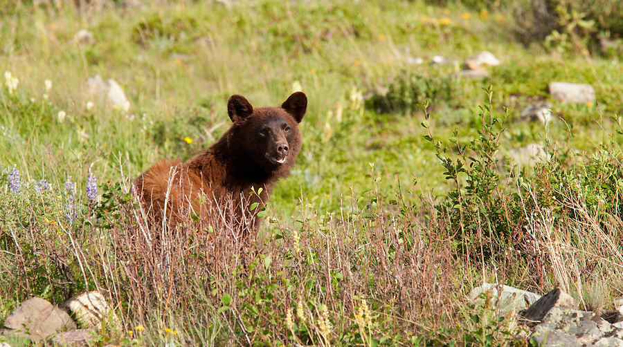 A brown grizzly bear is seen near the treeline in Glacier National Park, Montana.