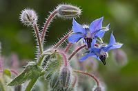Borretsch, Gurkenkraut, Kukumerkraut, Boretsch, Borago officinalis, Borage, starflower, Bourrache