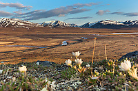 Wind flower, Nigu River, Brooks Range mountains, Gates of the Arctic National Park, Alaska.