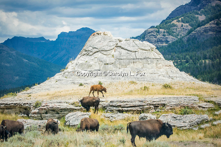 Bison hang out around Soda Butte in Yellowstone.
