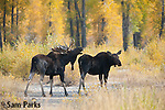 A bull moose in flehmen response with a cow during the rut. Grand Teton National Park, Wyoming.