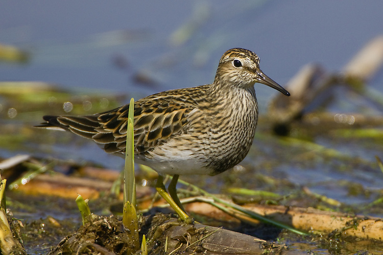 Least Sandpiper walking over some reeds