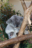 0802-1014  Koala with Young, 6 month old Joey that Just Emerged from Pouch within One Day, Phascolarctos cinereus © David Kuhn/Dwight Kuhn Photography