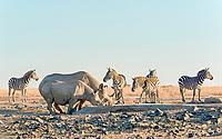 Black rhino (Diceros bicornis) drinking at artificial waterhole, back Plains zebra (Equus quagga), Ol Pejeta Reserve, Kenya, Africa