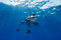TG0683-D. Oceanic Whitetip Shark (Carcharhinus longimanus), and Pilotfish (Naucrates ductor). Pilotfish are semi-obligate commensal symbionts, following sharks, turtles, and other pelagic animals. Found throughout the tropics, pilotfish feed on leftovers from their host meals, as well as shark parasites and excrement. Egypt, Red Sea.<br /> Photo Copyright &copy; Brandon Cole. All rights reserved worldwide.  www.brandoncole.com
