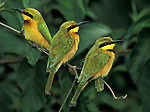 Little Bee-eater (Merops pusillus) three sitting on branch, green and yellow feathers, West Africa. .Gambia....