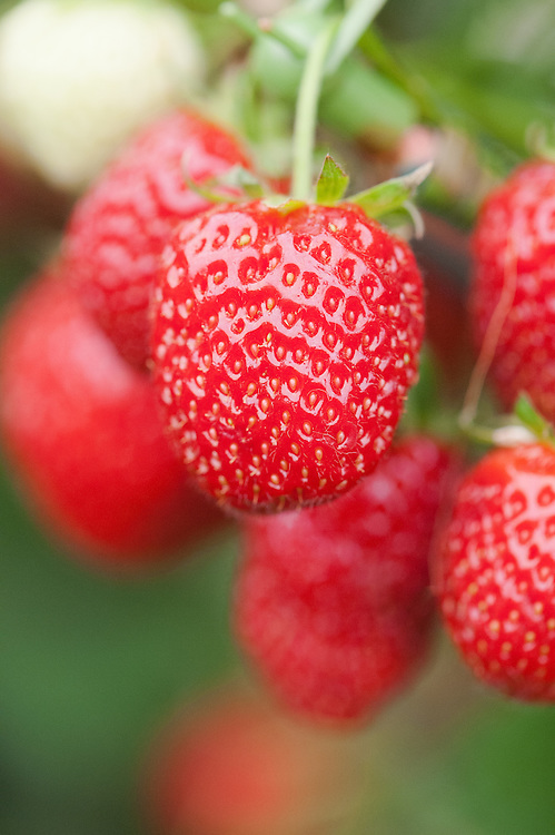 Strawberry 'Christine', an early to mid sumnmer variety.