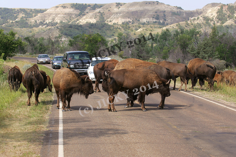 Theodore Roosevelt National Park - Badlands, South Unit - Bison crossing road