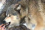 Timber or Grey Wolf, Canis Lupus, Minnesota  USA  .wolf tearing at flesh of recent kill, feeding, eating, predation, growling, baring teeth.USA....