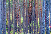 A deep forest of pine trees in Smaland in southern Sweden Europe. Vertical upright trees forming a pattern with sun shining through the tree crowns.