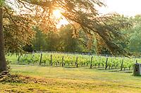 France, Maine-et-Loire (49), Brissac-Quincé, château de Brissac, la vigne des cinq siècles le soir