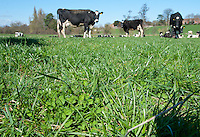 White Clover 'Trifolium repens', close-up in an organic pasture with Holstein Friesian dairy cows, Shropshire