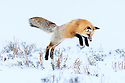 Adult red fox (Vulpes vulpes) hunting for rodents - 'snow diving' - in deep snow. Hayden Valley, Yellowstone, USA. February