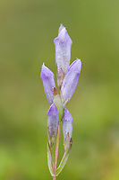 Four-parted gentian, Denali National Park, Alaska