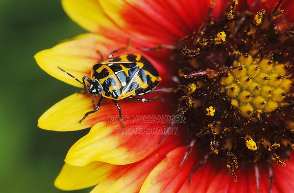 Harlequin Bug, Murgantia histrionica , adult on Indian Blanket (Gaillardia pulchella) , Lake Corpus Christi, Texas, USA