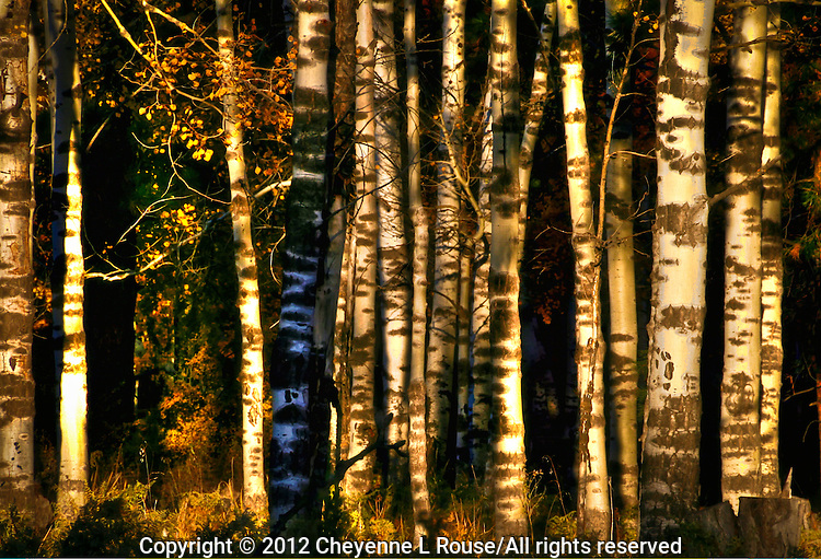 Shade & Shadow. Aspen trees, Flagstaff, Arizona
