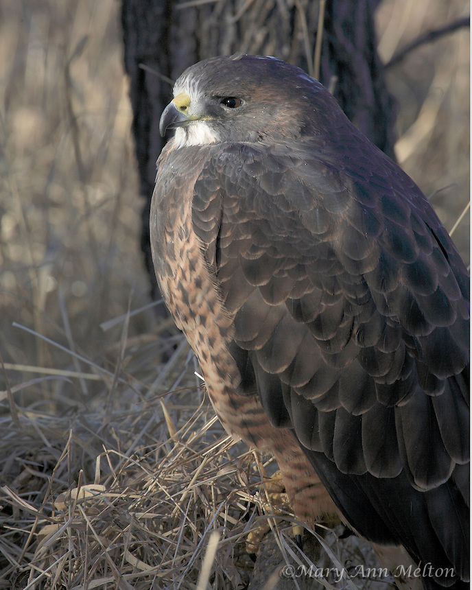 This Swainson hawk is one of many rescued birds used for environmental education at the Rocky Mountain Raptor Program in Fort Collins, Colorado.