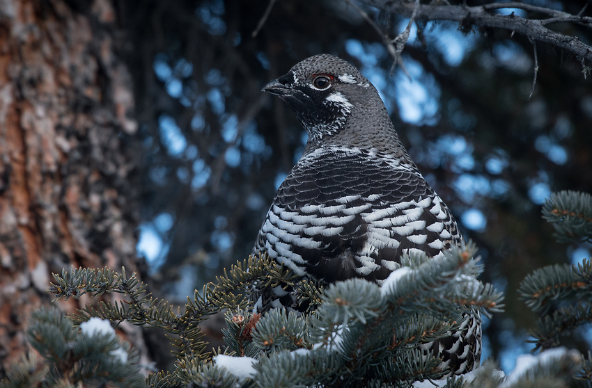 Spruce Grouse, Mendeltna, Alaska. Photo by James R. Evans