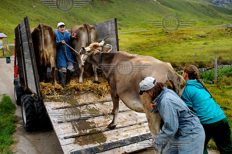 Loading milk cows onto a truck for transport down into the valley from summer alpine pastures.