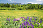 Colorful Lupines Blooming in Meadow with View of White Mountains, New Hampshire