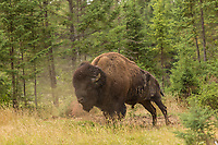 An American Bison is seen at the Zoo Sauvage in St. Felicien, Quebec Friday August 25, 2017.