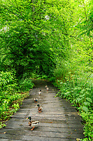 France, Indre-et-Loire (37), Amboise, Jardin et Château du Clos Lucé, canards colvert dans une allée en patelage de bois