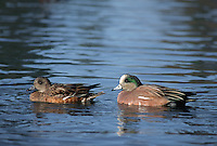 35-B02-WA-130   AMERICAN WIDGEON (Mareca americana) male and female on pond, western Oregon, USA.