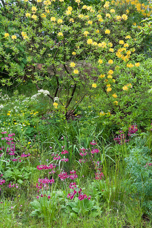Primula pulverulenta (Mealy primrose) and Rhododendron luteum (Yellow azalea), mid May. The Laurent-Perrier Chatsworth Garden designed by Dan Perarson, RHS Chelsea Flower Show 2015.