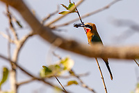 africa, Zambia, South Luangwa National Park, White-fronted bee-eaters, Merops bullockoides