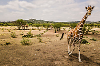 Giraffe's graze on tree tops at the OX Ranch on 16th of August, 2017 on the Ox Ranch, Uvalde, Texas, USA. <br /> Photo Daniel Berehulak for the New York Times