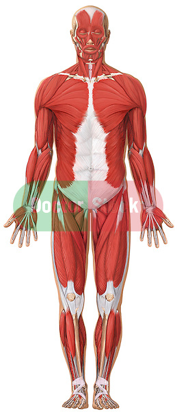 This medical exhibit depicts the superficial muscles of the  body from an anterior (front) view using a standing male figure in the anatomical position.  Visible are the muscles of the head, neck, torso, arms and legs. This illustration is intentionally left unlabeled to accommodate custom label requests.