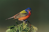 Painted Bunting, Passerina ciris, male on huisache tree, Starr County, Rio Grande Valley, Texas, USA, May 2002