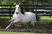 Bob, ANIMALS, REALISTISCHE TIERE, ANIMALES REALISTICOS, horses, photos+++++,GBLA3684,#a#, EVERYDAY